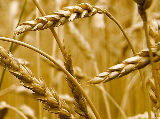 UK wheat futures down due to wet weather