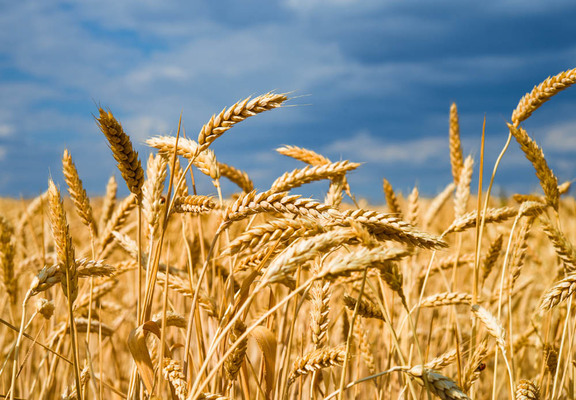 Traders frustrated by drawn-out UK wheat harvest